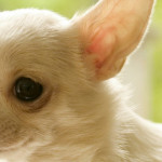 Featured-Chihuahua-2