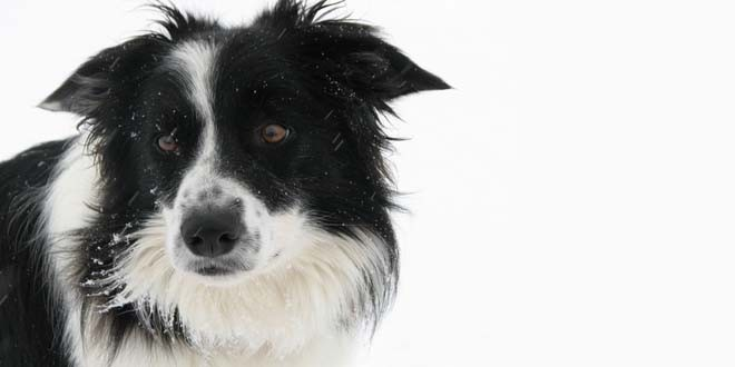 Border Collie Rescue Ontario
