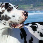 Harlequin-Dane-Featured