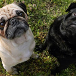 All-About-Pugs-Featured-3