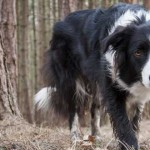 BorderCollie-Featured