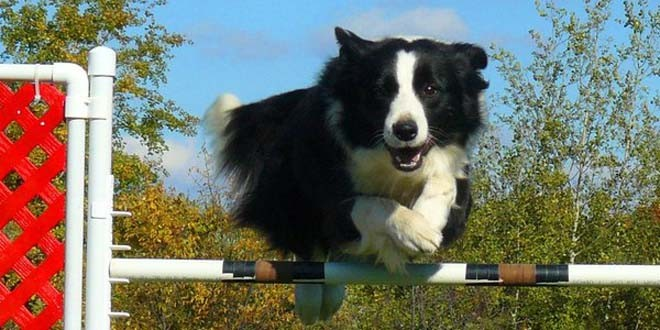 HiQ Border Collies
