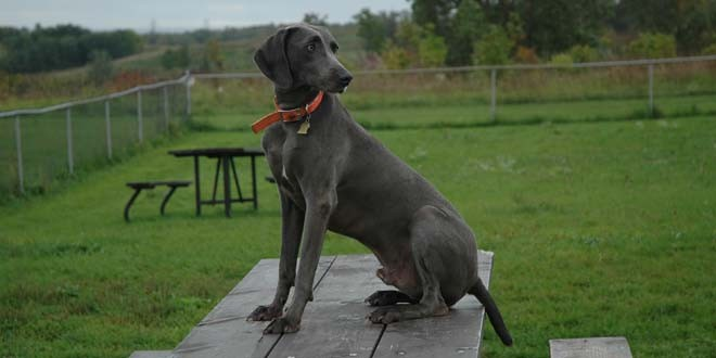 Michigan Weimaraner Rescue