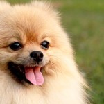 Pomeranian-Featured