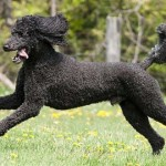 StandardPoodle-Featured