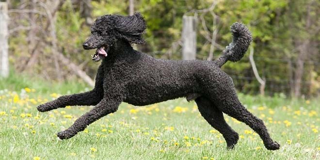 Standard Poodle and All Breed Rescue