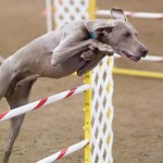 Weimaraner_agility_jump-Featured