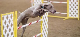 The Benefits of Doing Dog Agility