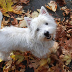 Westies in Need