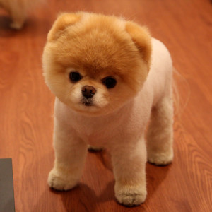 """Internet sensation """"Boo"""" is a Pomeranian trimmed down to his fluffy undercoat"""