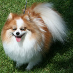 Red and White Pomeranian